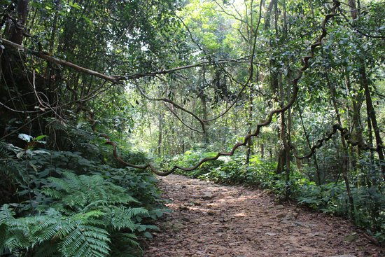 Sinharaja Forest Reserve: Forest walkway