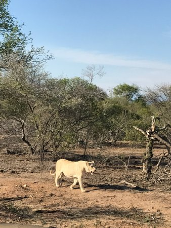 Timbavati Private Nature Reserve, Güney Afrika: White Lioness