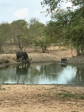 Kambaku Safari Lodge: Buffalo and warthog drinking at the waterhole in front of our room