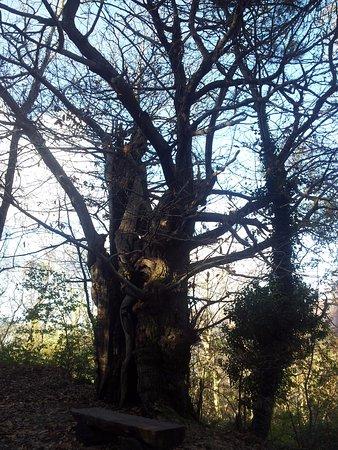 Montieri, Italy: albero secolare
