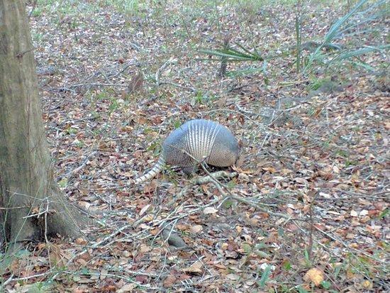 Live Oak, Flórida: An armadillo!
