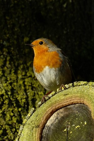 Burscough, UK: A friendly robin looking for a treat.