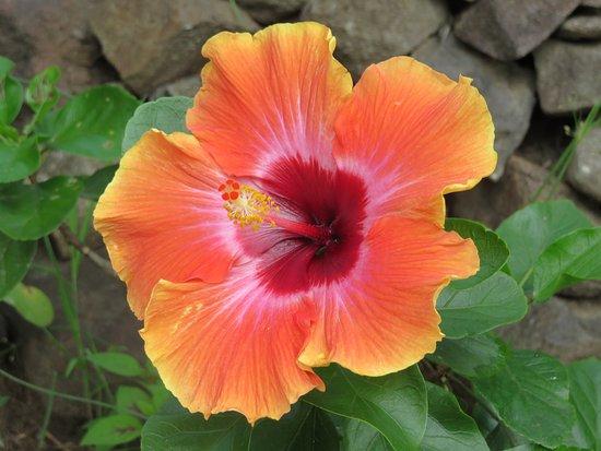 Trois-Ilets, Martinique: Hibiscus