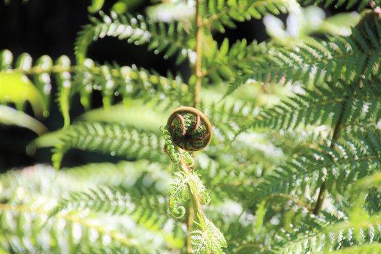 Taupo, New Zealand: Emerging Ponga (Koru emblem)