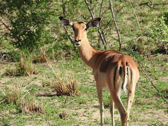 Hazyview, África do Sul: The beauty of an Empala