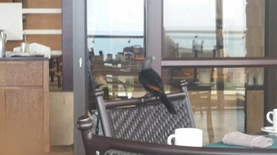 Fairmont Zimbali Lodge: Birds joining guests for breakfast at Coral Tree Restaurant