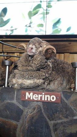 Ngongotaha, Nya Zeeland: Самый классный баран - Мерино!