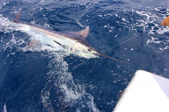 เกปอส, คอสตาริกา: Brilliant day fishing with Mark & Stella all the way from the UK. Released a 350LB & 180LB Marli