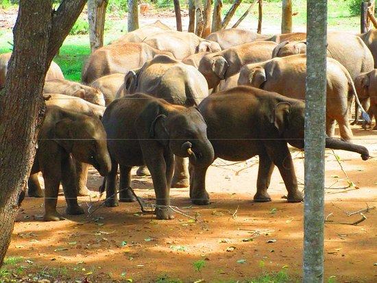 Pinnawala, Sri Lanka: The herd after their meal.