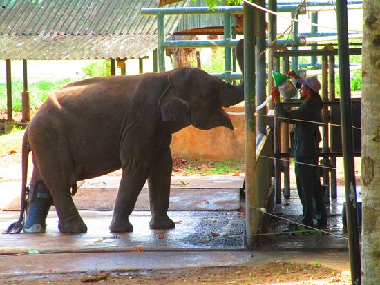 Pinnawala, ศรีลังกา: Elephant with prosthetic leg having his lunch.