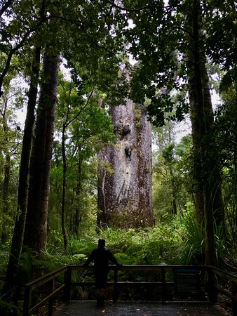 Waipoua Forest, Nueva Zelanda: Father of the Forest