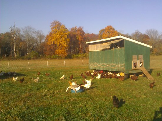 Lawrenceville, NJ: The chickens live in mobile coops out in pasture