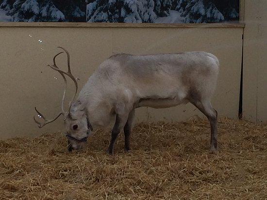 Horndean, UK : Real reindeer 🌲
