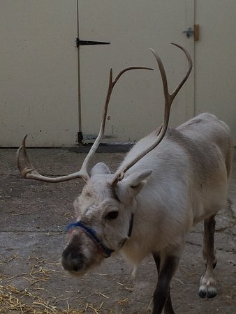 Horndean, UK: Real reindeer 🌲