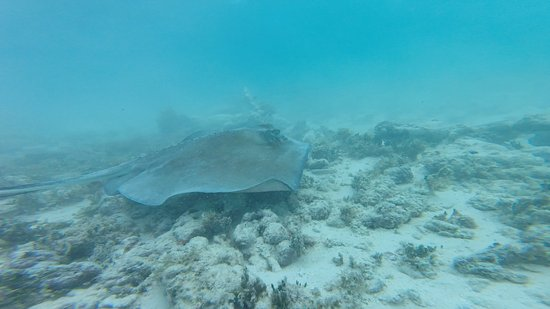 Jolly Harbour, Antigua: The stingray our guide found and recorded on our GoPro!