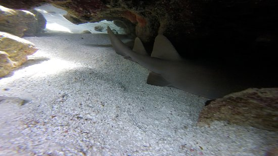 ‪‪Jolly Harbour‬, ‪Antigua‬: The nurse shark our guides found and recorded on our GoPro!‬
