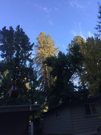 Guerneville, CA: Trees in the courtyard