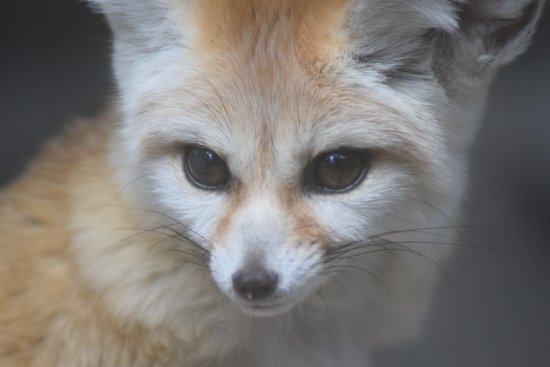 fennec foxes are so cute aren t they picture of palm beach zoo