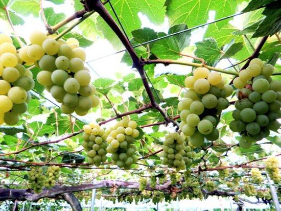 Sobetsu-cho, Japón: grapes