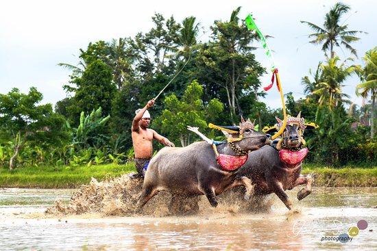 จิมบารัน, อินโดนีเซีย: Bull Race at banjar peh Negara