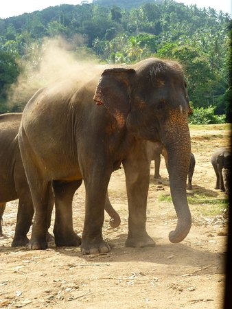 Pinnawala, ศรีลังกา: beautiful elephants