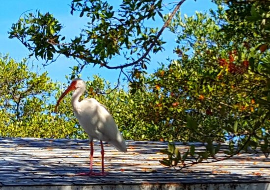 Tavernier, FL: White ibis