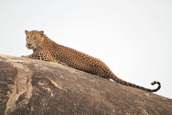 Leopard Corridor - Yala