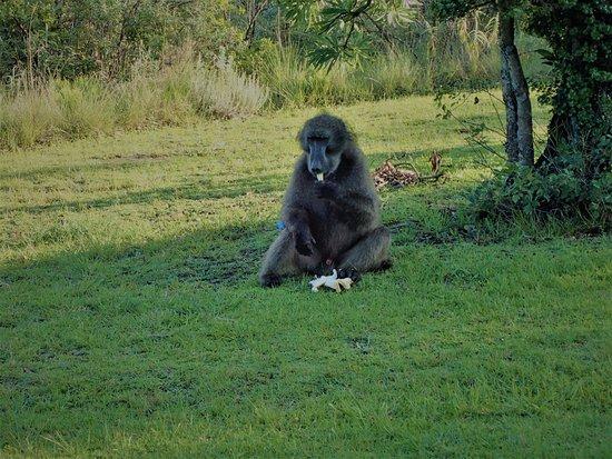 uKhahlamba-Drakensberg Park, Νότια Αφρική: singe nous ayant volé notre pain !!