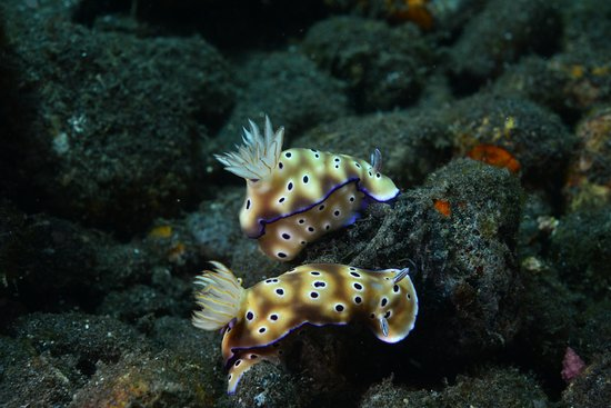 Tulamben, Indonesien: Nakensnegler