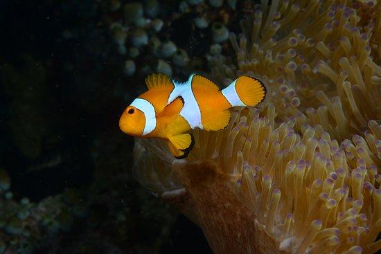 Tulamben, Indonesia: Nemo