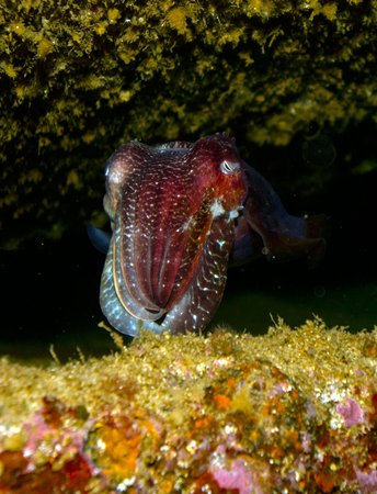 Busselton, Australia: This is a baby cuttlefish that was under the Lena's hull.