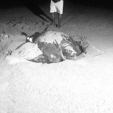 St Lucia, Sudáfrica: Letherback!