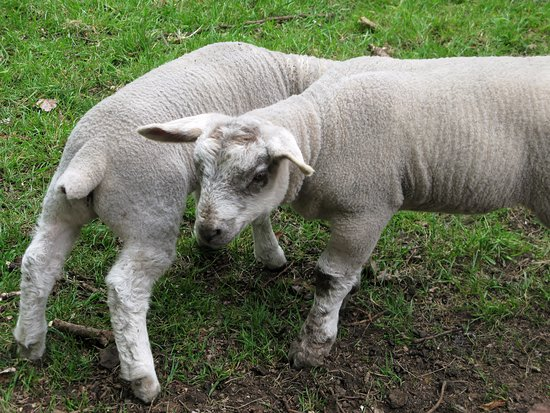 Kings Langley, UK: Lambs and Langleybury.