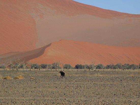Sesriem, Namibia: Schabrackenhyäne