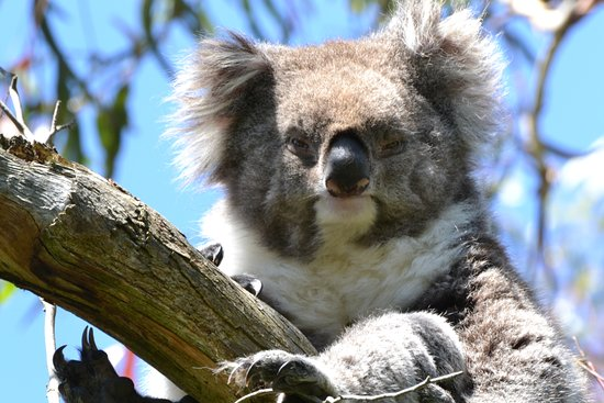 Cowes, ออสเตรเลีย: Koala Conservation Centre