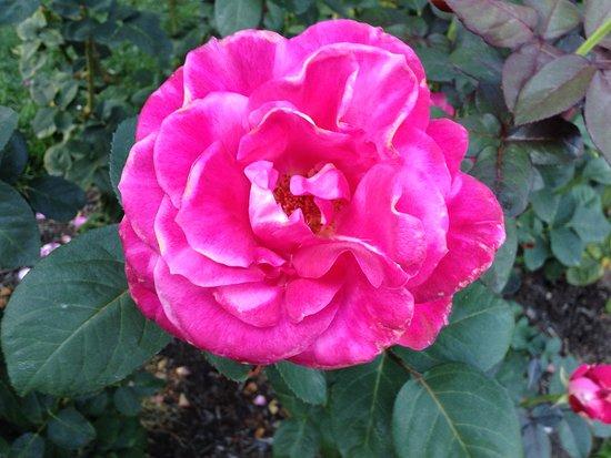 International Rose Test Garden: A single