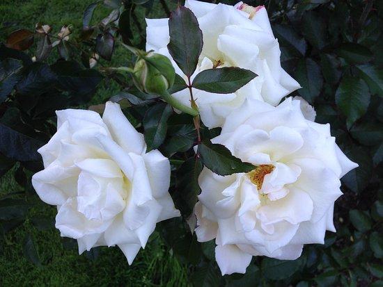 International Rose Test Garden: Triple