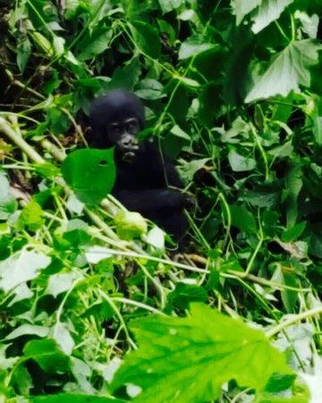 Bwindi Impenetrable National Park, Uganda: Gorilla baby 3 months