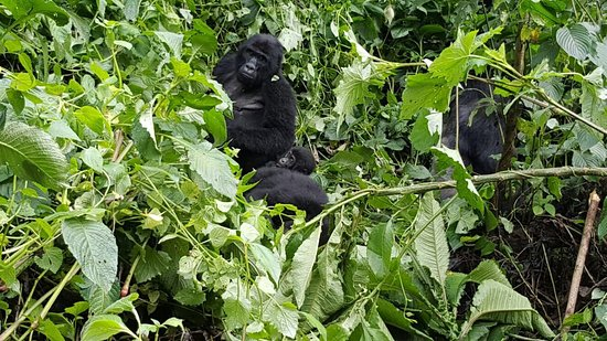 Bwindi Impenetrable National Park, Uganda: Gorilla familje