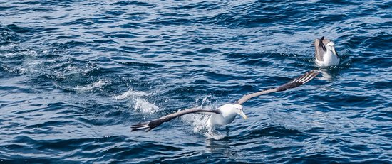 Manapouri, Nova Zelândia: MollyHawk feeding from our fish during fishing