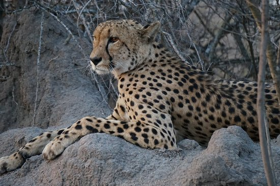 Mala Mala Private Game Reserve, South Africa: Cheetah observes surroundings from the top of a termite mount