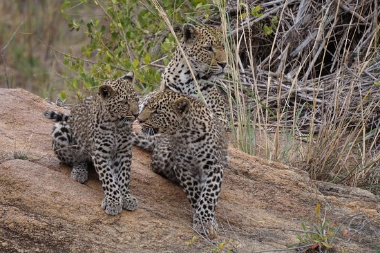 Rattray's on MalaMala: Watchful leopard-mama with her 2 cubs