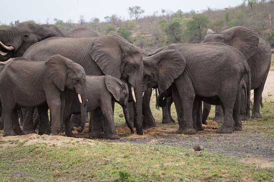 Rattray's on MalaMala: Thirsty elephants digging for water in the dried out river bed