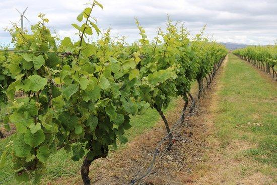 Napier, Nueva Zelanda: Vineyard photo