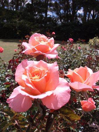 Palmerston North, Nya Zeeland: Dugald MacKenzie Rose Garden