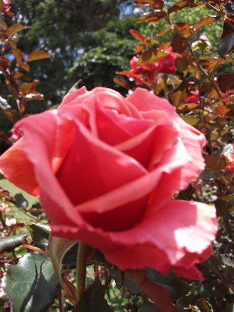 Palmerston North, New Zealand: Dugald MacKenzie Rose Garden