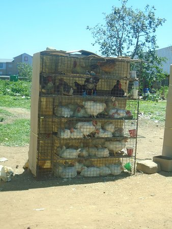 Centurion, South Africa: Live Chickens for Sale