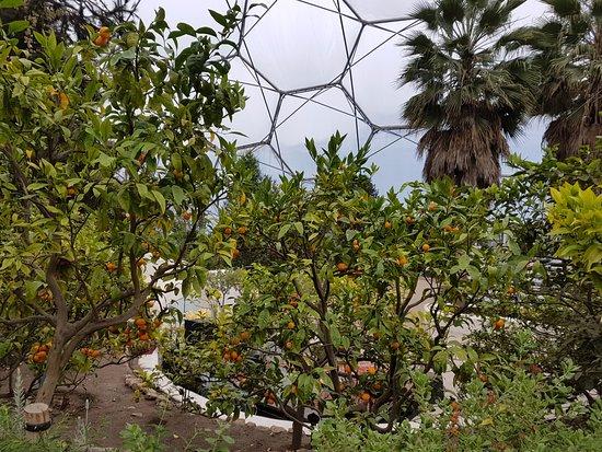 Bodelva, UK: Orangenbäume