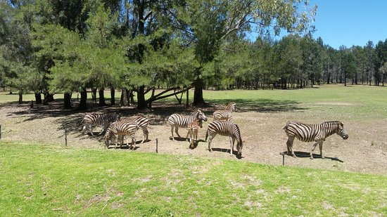 Dubbo, Australia: Zebras (not zoomed). access to see the animals are quiet close to the walking/driving paths.