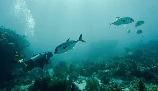 Quiescence Diving Services : Jack Crevalle